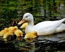 اردک 20 روزه پکنی آریا منتخب پارسیان ، - ?فروش عمده اردک پکنی 1روزه (محلی )09121986651