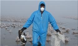 13951007000689 PhotoA مردم تا رفع کامل بیماری آنفلوآنزای فوق حاد پرندگان از خوردن جوجهکباب خودداری کنند