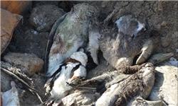 13951007000698 PhotoA مردم تا رفع کامل بیماری آنفلوآنزای فوق حاد پرندگان از خوردن جوجهکباب خودداری کنند