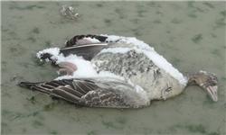 13951007000705 PhotoA مردم تا رفع کامل بیماری آنفلوآنزای فوق حاد پرندگان از خوردن جوجهکباب خودداری کنند