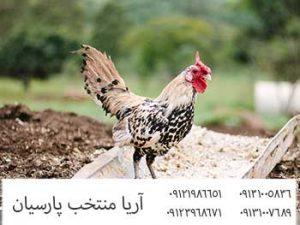 ? فروش مرغ وخروس پرواری با وزن بالا 09121986651_09123968671