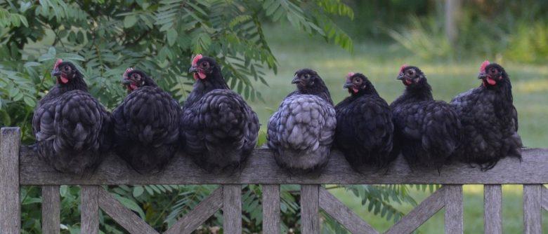 فروش جوجه مرغ بومی پلیموت راكPlymouth Rock chicken - فروش جوجه مرغ بومی پلیموت راكPlymouth Rock chicken بوقلمون بيوتي , بوقلمون_گوشتي , بوقلمون گوشتي , خريد بوقلمون BUT6 , بوقلمون بومي , بوقلمون بيوتي , بوقلمون صنعتي , بوقلمون ارگانيك , بوقلمون سفيد , بوقلمون بيوتي 6 , بوقلمون بيوتي فوق سنگين , بوقلمون محلي شمال , خريد بوقلمون گوشتي در ورامين , فروش بوقلمون فرانسوي , فروش جوجه بوقلمون يكماهه در ورامين , بوقلمون بي يو تي در اروميه , قيمت جوجه بوقلمون بي يو تي , قيمت جوجه بوقلمون پانزده روزه , قيمت جوجه بوقلمون 15 روزه , حمل بوقلمون بيوتي زنده در ورامين , بوقلمون گوشتي در ورامين , خريد و فروش بوقلمون در ورامين, فروش بوقلمون گوشتي در ورامين , بوقلمون بيوتي 6 , خريدار جوجه بوقلمون but , جوجه يكماهه بوقلمون در ورامين , پرورش بوقلمون, جوجه بوقلمون , بوقلمون بيوتي 6 فوق سنگين, بوقلمون بيوتي 6 , قيمت جوجه بوقلمون بي يو تي , پرورش بوقلمون , جوجه بوقلمون, بوقلمون برنز , بوقلمون برنز آمريكايي , بوقلمون برنز انگليسي , بوقلمون برنز انگليس , بوقلمون برنز آمريكا , بوقلمون برنز كانادا , بوقلمون برنز ماسوله , بوقلمون برنز انگليس يكماهه , بوقلمون برنز فرانسوي , بوقلمون برنزآمريكا , بوقلمون برنز انگليسي 35 روزه , بوقلمون برنزه , بوقلمون برنز , مرغ , مرغ بومي , مرغ بومي گلپايگاني , مرغ بومي تخمگذار , تخمگذار , مرغ تخمگذار , جوجه مرغ بومي , جوجه تخمگذار بومي , مرغ بومي 5 ماهه , مرغ 5 ماهه , مرغ 5 ماهه بومي گلپايگان , مرغ بومي گلپايگان اصل , مرغ لوهمن قهوه , مرغ لومهن , مرغ بومي بلك , مرغ بومي گوشتي , مرغ بومي گلپايگاني , مرغ ال اس اس, مرغ پولت , نيمچه مرغ بومي , مرغ بومي محلي , بلدرچين , بلك استار , پليموت راك , مرغ بومي بلك , مرغ بومي بلك استار , مرغ بلك استار , مرغ , مرغ بومي تخمگذار , مرغ بومي محلي , نيمچه مرغ , نيمچه , نيمچه دو ماهه بلك , مرغ لوهمن قهوه , مرغ لوهمن , مرغ لوهمن دم طلايي , شترمرغ , شترمرغ پرواري , شترمرغ هچري يكماهه دوماهه , شترمرغ مولد , شترمرغ پرواري , شترمرغ استراليايي , شترمرغ ايران , شترمرغ آفريقايي , شترمرغ تربت حيدريه , شترمرغ اصفهان , شترمرغ يكماهه , شترمرغ روغن , روغن شترمرغ , شترمرغ زرينشهر , شترمرغ هچري , شترمرغ گيلان , شترمرغ گردن آبي , شترمرغ گوشتي , شترم
