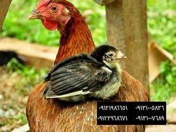 ⚫️فروش مرغ اماده به تخم گلپایگانی09131007689