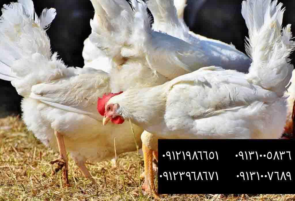 مرغ گوشتی کشتار تهران - بوقلمون بيوتي , بوقلمون_گوشتي , بوقلمون گوشتي , خريد بوقلمون BUT6 , بوقلمون بومي , بوقلمون بيوتي , بوقلمون صنعتي , بوقلمون ارگانيك , بوقلمون سفيد , بوقلمون بيوتي 6 , بوقلمون بيوتي فوق سنگين , بوقلمون محلي شمال , خريد بوقلمون گوشتي در ورامين , فروش بوقلمون فرانسوي , فروش جوجه بوقلمون يكماهه در ورامين , بوقلمون بي يو تي در اروميه , قيمت جوجه بوقلمون بي يو تي , قيمت جوجه بوقلمون پانزده روزه , قيمت جوجه بوقلمون 15 روزه , حمل بوقلمون بيوتي زنده در ورامين , بوقلمون گوشتي در ورامين , خريد و فروش بوقلمون در ورامين, فروش بوقلمون گوشتي در ورامين , بوقلمون بيوتي 6 , خريدار جوجه بوقلمون but , جوجه يكماهه بوقلمون در ورامين , پرورش بوقلمون, جوجه بوقلمون , بوقلمون بيوتي 6 فوق سنگين, بوقلمون بيوتي 6 , قيمت جوجه بوقلمون بي يو تي , پرورش بوقلمون , جوجه بوقلمون, بوقلمون برنز , بوقلمون برنز آمريكايي , بوقلمون برنز انگليسي , بوقلمون برنز انگليس , بوقلمون برنز آمريكا , بوقلمون برنز كانادا , بوقلمون برنز ماسوله , بوقلمون برنز انگليس يكماهه , بوقلمون برنز فرانسوي , بوقلمون برنزآمريكا , بوقلمون برنز انگليسي 35 روزه , بوقلمون برنزه , بوقلمون برنز , مرغ , مرغ بومي , مرغ بومي گلپايگاني , مرغ بومي تخمگذار , تخمگذار , مرغ تخمگذار , جوجه مرغ بومي , جوجه تخمگذار بومي , مرغ بومي 5 ماهه , مرغ 5 ماهه , مرغ 5 ماهه بومي گلپايگان , مرغ بومي گلپايگان اصل , مرغ لوهمن قهوه , مرغ لومهن , مرغ بومي بلك , مرغ بومي گوشتي , مرغ بومي گلپايگاني , مرغ ال اس اس, مرغ پولت , نيمچه مرغ بومي , مرغ بومي محلي , بلدرچين , بلك استار , پليموت راك , مرغ بومي بلك , مرغ بومي بلك استار , مرغ بلك استار , مرغ , مرغ بومي تخمگذار , مرغ بومي محلي , نيمچه مرغ , نيمچه , نيمچه دو ماهه بلك , مرغ لوهمن قهوه , مرغ لوهمن , مرغ لوهمن دم طلايي , شترمرغ , شترمرغ پرواري , شترمرغ هچري يكماهه دوماهه , شترمرغ مولد , شترمرغ پرواري , شترمرغ استراليايي , شترمرغ ايران , شترمرغ آفريقايي , شترمرغ تربت حيدريه , شترمرغ اصفهان , شترمرغ يكماهه , شترمرغ روغن , روغن شترمرغ , شترمرغ زرينشهر , شترمرغ هچري , شترمرغ گيلان , شترمرغ گردن آبي , شترمرغ گوشتي , شترمرغ نر , شترمرغ ماده , شترمرغي , شترمرغ 45 روزه , شترمرغ من , شترمرغ دوماهه , شتر