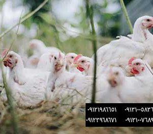فروش مرغ تخمگذار 8ماهه - فروش مرغ تخم گذار هشت ماهه - فروش مرغ تخمگذار هشت ماهه - خریدمرغ تخمگذار - خرید مرغ تخم گذار - تخم مرغ - تخم گذار - تخمگذار - فروش جوجه مرغ تخمگذار 5ماهه - فروش پولت تخمگذارسفیدصنعتی درسنهای مختلف 09121986651