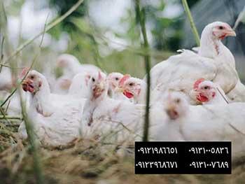فروش جوجه مرغ تخمگذار 5ماهه - فروش پولت تخمگذارسفیدصنعتی درسنهای مختلف 09121986651