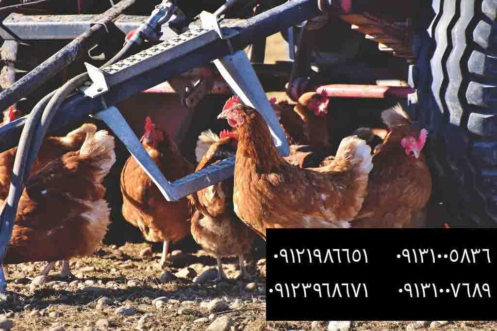 پرندگانی برای پرورش در مزارع - بوقلمون بيوتي , بوقلمون_گوشتي , بوقلمون گوشتي , خريد بوقلمون BUT6 , بوقلمون بومي , بوقلمون بيوتي , بوقلمون صنعتي , بوقلمون ارگانيك , بوقلمون سفيد , بوقلمون بيوتي 6 , بوقلمون بيوتي فوق سنگين , بوقلمون محلي شمال , خريد بوقلمون گوشتي در ورامين , فروش بوقلمون فرانسوي , فروش جوجه بوقلمون يكماهه در ورامين , بوقلمون بي يو تي در اروميه , قيمت جوجه بوقلمون بي يو تي , قيمت جوجه بوقلمون پانزده روزه , قيمت جوجه بوقلمون 15 روزه , حمل بوقلمون بيوتي زنده در ورامين , بوقلمون گوشتي در ورامين , خريد و فروش بوقلمون در ورامين, فروش بوقلمون گوشتي در ورامين , بوقلمون بيوتي 6 , خريدار جوجه بوقلمون but , جوجه يكماهه بوقلمون در ورامين , پرورش بوقلمون, جوجه بوقلمون , بوقلمون بيوتي 6 فوق سنگين, بوقلمون بيوتي 6 , قيمت جوجه بوقلمون بي يو تي , پرورش بوقلمون , جوجه بوقلمون, بوقلمون برنز , بوقلمون برنز آمريكايي , بوقلمون برنز انگليسي , بوقلمون برنز انگليس , بوقلمون برنز آمريكا , بوقلمون برنز كانادا , بوقلمون برنز ماسوله , بوقلمون برنز انگليس يكماهه , بوقلمون برنز فرانسوي , بوقلمون برنزآمريكا , بوقلمون برنز انگليسي 35 روزه , بوقلمون برنزه , بوقلمون برنز , مرغ , مرغ بومي , مرغ بومي گلپايگاني , مرغ بومي تخمگذار , تخمگذار , مرغ تخمگذار , جوجه مرغ بومي , جوجه تخمگذار بومي , مرغ بومي 5 ماهه , مرغ 5 ماهه , مرغ 5 ماهه بومي گلپايگان , مرغ بومي گلپايگان اصل , مرغ لوهمن قهوه , مرغ لومهن , مرغ بومي بلك , مرغ بومي گوشتي , مرغ بومي گلپايگاني , مرغ ال اس اس, مرغ پولت , نيمچه مرغ بومي , مرغ بومي محلي , بلدرچين , بلك استار , پليموت راك , مرغ بومي بلك , مرغ بومي بلك استار , مرغ بلك استار , مرغ , مرغ بومي تخمگذار , مرغ بومي محلي , نيمچه مرغ , نيمچه , نيمچه دو ماهه بلك , مرغ لوهمن قهوه , مرغ لوهمن , مرغ لوهمن دم طلايي , شترمرغ , شترمرغ پرواري , شترمرغ هچري يكماهه دوماهه , شترمرغ مولد , شترمرغ پرواري , شترمرغ استراليايي , شترمرغ ايران , شترمرغ آفريقايي , شترمرغ تربت حيدريه , شترمرغ اصفهان , شترمرغ يكماهه , شترمرغ روغن , روغن شترمرغ , شترمرغ زرينشهر , شترمرغ هچري , شترمرغ گيلان , شترمرغ گردن آبي , شترمرغ گوشتي , شترمرغ نر , شترمرغ ماده , شترمرغي , شترمرغ 45 روزه , شترمرغ من , شترمرغ دوماه