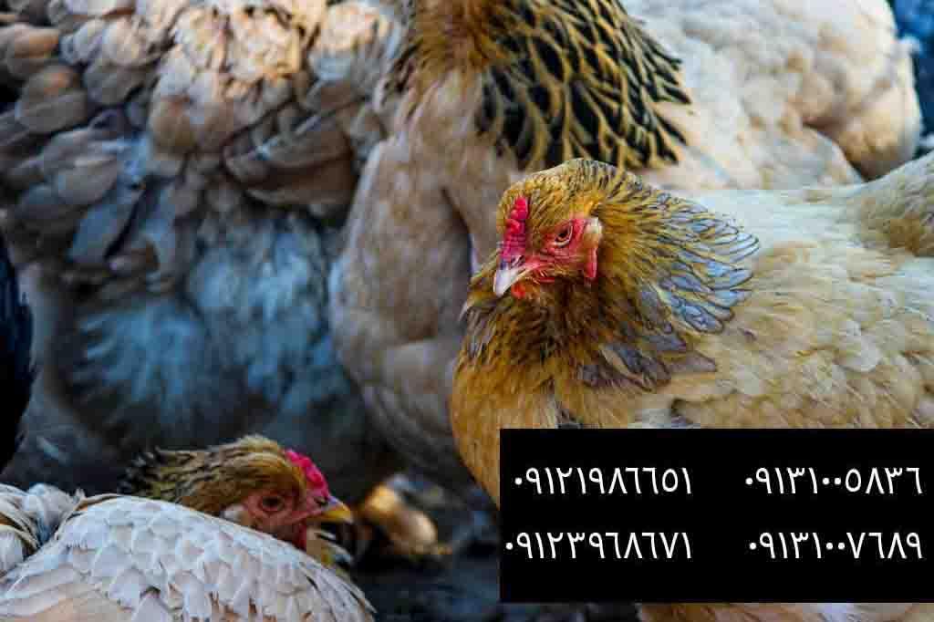 ? فروش مرغ محلی در سنین مختلف ?09121986651