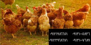 ?فروش مرغ بومی تخمگذار 1ماهه و 2ماهه و3ماهه و6ماهه 09121986651_09123968671