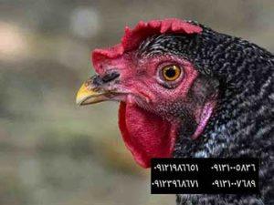 میزان تخم گذاری مرغ بومی در فضای کف بستر و قفس09131007689 - تغذیه ی مناسب مرغ ها در تمام فصول09121986651 - بوقلمون بيوتي , بوقلمون_گوشتي , بوقلمون گوشتي , خريد بوقلمون BUT6 , بوقلمون بومي , بوقلمون بيوتي , بوقلمون صنعتي , بوقلمون ارگانيك , بوقلمون سفيد , بوقلمون بيوتي 6 , بوقلمون بيوتي فوق سنگين , بوقلمون محلي شمال , خريد بوقلمون گوشتي در ورامين , فروش بوقلمون فرانسوي , فروش جوجه بوقلمون يكماهه در ورامين , بوقلمون بي يو تي در اروميه , قيمت جوجه بوقلمون بي يو تي , قيمت جوجه بوقلمون پانزده روزه , قيمت جوجه بوقلمون 15 روزه , حمل بوقلمون بيوتي زنده در ورامين , بوقلمون گوشتي در ورامين , خريد و فروش بوقلمون در ورامين, فروش بوقلمون گوشتي در ورامين , بوقلمون بيوتي 6 , خريدار جوجه بوقلمون but , جوجه يكماهه بوقلمون در ورامين , پرورش بوقلمون, جوجه بوقلمون , بوقلمون بيوتي 6 فوق سنگين, بوقلمون بيوتي 6 , قيمت جوجه بوقلمون بي يو تي , پرورش بوقلمون , جوجه بوقلمون, بوقلمون برنز , بوقلمون برنز آمريكايي , بوقلمون برنز انگليسي , بوقلمون برنز انگليس , بوقلمون برنز آمريكا , بوقلمون برنز كانادا , بوقلمون برنز ماسوله , بوقلمون برنز انگليس يكماهه , بوقلمون برنز فرانسوي , بوقلمون برنزآمريكا , بوقلمون برنز انگليسي 35 روزه , بوقلمون برنزه , بوقلمون برنز , مرغ , مرغ بومي , مرغ بومي گلپايگاني , مرغ بومي تخمگذار , تخمگذار , مرغ تخمگذار , جوجه مرغ بومي , جوجه تخمگذار بومي , مرغ بومي 5 ماهه , مرغ 5 ماهه , مرغ 5 ماهه بومي گلپايگان , مرغ بومي گلپايگان اصل , مرغ لوهمن قهوه , مرغ لومهن , مرغ بومي بلك , مرغ بومي گوشتي , مرغ بومي گلپايگاني , مرغ ال اس اس, مرغ پولت , نيمچه مرغ بومي , مرغ بومي محلي , بلدرچين , بلك استار , پليموت راك , مرغ بومي بلك , مرغ بومي بلك استار , مرغ بلك استار , مرغ , مرغ بومي تخمگذار , مرغ بومي محلي , نيمچه مرغ , نيمچه , نيمچه دو ماهه بلك , مرغ لوهمن قهوه , مرغ لوهمن , مرغ لوهمن دم طلايي , شترمرغ , شترمرغ پرواري , شترمرغ هچري يكماهه دوماهه , شترمرغ مولد , شترمرغ پرواري , شترمرغ استراليايي , شترمرغ ايران , شترمرغ آفريقايي , شترمرغ تربت حيدريه , شترمرغ اصفهان , شترمرغ يكماهه , شترمرغ روغن , روغن شترمرغ , شترمرغ زرينشهر , شترمرغ هچري , شترمرغ گيلان , شترمرغ گردن آبي , شترمرغ گوشتي , ش