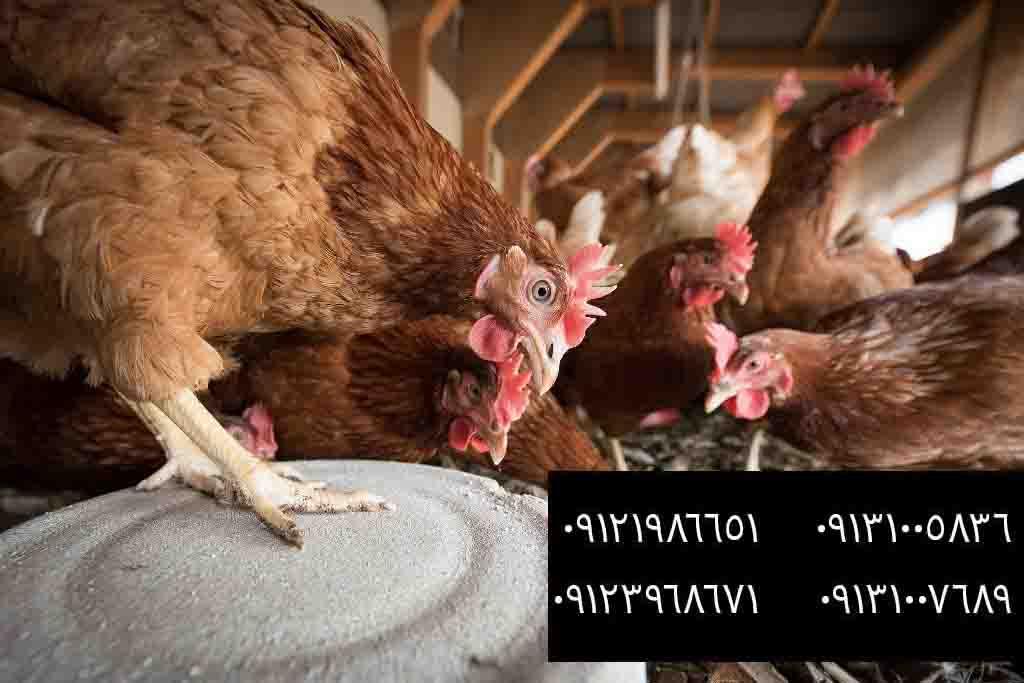 راه حل مدفوع خواری مرغ چیست؟ - بوقلمون بيوتي , بوقلمون_گوشتي , بوقلمون گوشتي , خريد بوقلمون BUT6 , بوقلمون بومي , بوقلمون بيوتي , بوقلمون صنعتي , بوقلمون ارگانيك , بوقلمون سفيد , بوقلمون بيوتي 6 , بوقلمون بيوتي فوق سنگين , بوقلمون محلي شمال , خريد بوقلمون گوشتي در ورامين , فروش بوقلمون فرانسوي , فروش جوجه بوقلمون يكماهه در ورامين , بوقلمون بي يو تي در اروميه , قيمت جوجه بوقلمون بي يو تي , قيمت جوجه بوقلمون پانزده روزه , قيمت جوجه بوقلمون 15 روزه , حمل بوقلمون بيوتي زنده در ورامين , بوقلمون گوشتي در ورامين , خريد و فروش بوقلمون در ورامين, فروش بوقلمون گوشتي در ورامين , بوقلمون بيوتي 6 , خريدار جوجه بوقلمون but , جوجه يكماهه بوقلمون در ورامين , پرورش بوقلمون, جوجه بوقلمون , بوقلمون بيوتي 6 فوق سنگين, بوقلمون بيوتي 6 , قيمت جوجه بوقلمون بي يو تي , پرورش بوقلمون , جوجه بوقلمون, بوقلمون برنز , بوقلمون برنز آمريكايي , بوقلمون برنز انگليسي , بوقلمون برنز انگليس , بوقلمون برنز آمريكا , بوقلمون برنز كانادا , بوقلمون برنز ماسوله , بوقلمون برنز انگليس يكماهه , بوقلمون برنز فرانسوي , بوقلمون برنزآمريكا , بوقلمون برنز انگليسي 35 روزه , بوقلمون برنزه , بوقلمون برنز , مرغ , مرغ بومي , مرغ بومي گلپايگاني , مرغ بومي تخمگذار , تخمگذار , مرغ تخمگذار , جوجه مرغ بومي , جوجه تخمگذار بومي , مرغ بومي 5 ماهه , مرغ 5 ماهه , مرغ 5 ماهه بومي گلپايگان , مرغ بومي گلپايگان اصل , مرغ لوهمن قهوه , مرغ لومهن , مرغ بومي بلك , مرغ بومي گوشتي , مرغ بومي گلپايگاني , مرغ ال اس اس, مرغ پولت , نيمچه مرغ بومي , مرغ بومي محلي , بلدرچين , بلك استار , پليموت راك , مرغ بومي بلك , مرغ بومي بلك استار , مرغ بلك استار , مرغ , مرغ بومي تخمگذار , مرغ بومي محلي , نيمچه مرغ , نيمچه , نيمچه دو ماهه بلك , مرغ لوهمن قهوه , مرغ لوهمن , مرغ لوهمن دم طلايي , شترمرغ , شترمرغ پرواري , شترمرغ هچري يكماهه دوماهه , شترمرغ مولد , شترمرغ پرواري , شترمرغ استراليايي , شترمرغ ايران , شترمرغ آفريقايي , شترمرغ تربت حيدريه , شترمرغ اصفهان , شترمرغ يكماهه , شترمرغ روغن , روغن شترمرغ , شترمرغ زرينشهر , شترمرغ هچري , شترمرغ گيلان , شترمرغ گردن آبي , شترمرغ گوشتي , شترمرغ نر , شترمرغ ماده , شترمرغي , شترمرغ 45 روزه , شترمرغ من , شترمرغ دوماه