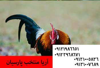 ?فروش مرغ وخروس کشتاری با وزن بالا09121986651_09123968671