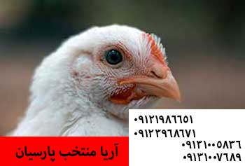 مرغ 6ماهه محلی روی اولین پیک تولید09121986651