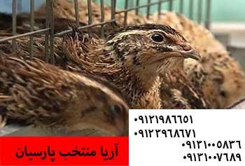 علائم آنفولانزای پرندگان و میزان شیوع - فروش جوجه یکروزه بلدرچین سنگین -