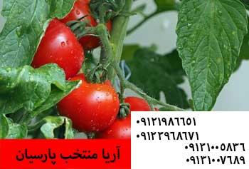 فروش بذر گوجه فرنگی - خرید بذر گوجه فرنگی - قیمت بذر گوجه فرنگی - بذر گوجه - بذر گوجه فرنگی -