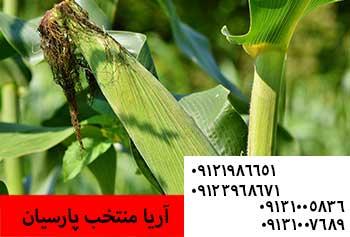 فروش بذر ذرت - خرید بذر ذرت - کاشت بذر ذرت - بذر ذرت -