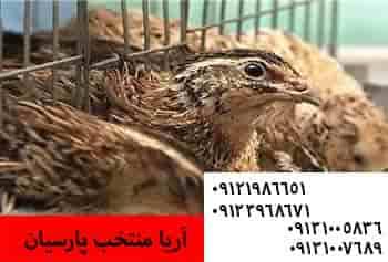 فروش بلدرچین 1روزه با قیمت مناسب09121986651