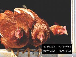 بهترین نژاد مرغ بومی Golden Comet(دم طلایی) - کنترل بیماری ها در سالن های مرغ بومی تخمگذار09131007689 -اهداف اصلي در تهويه - خطرات خود درمانی در گله های طیور09121986651 - فروش مرغ 3 ماهه محلی به وزن 1کیلو