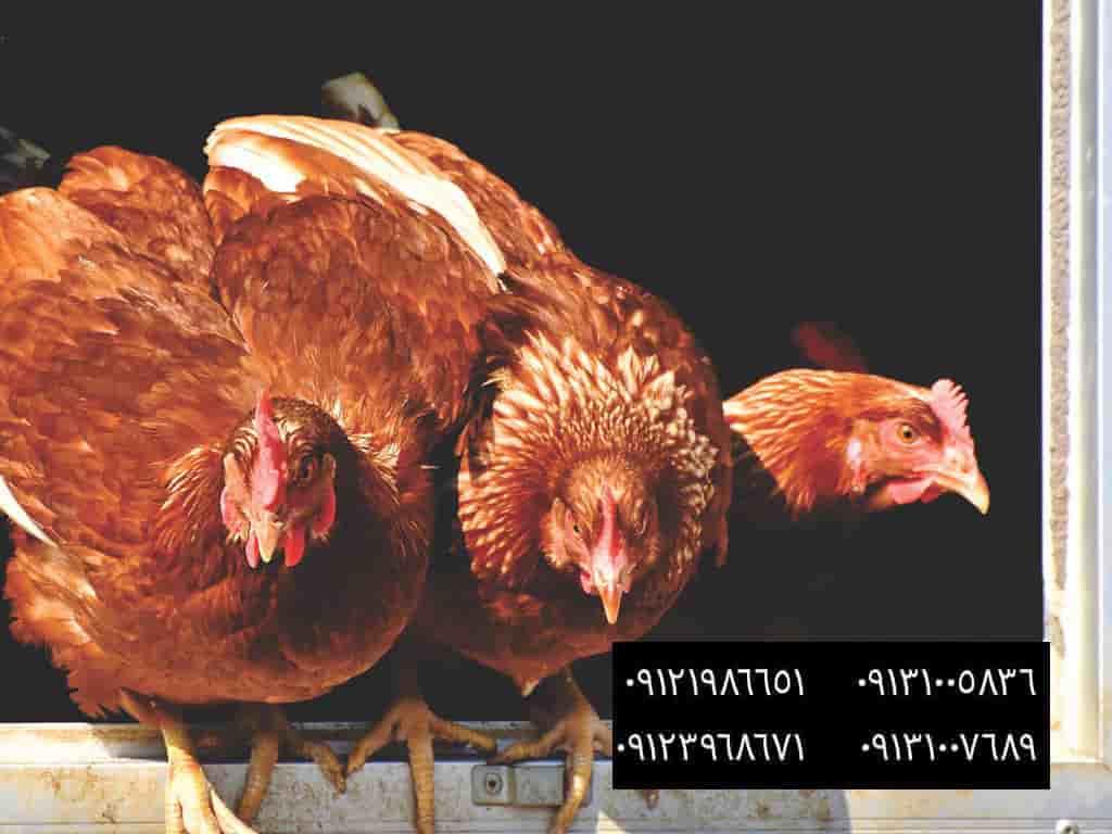 خطرات خود درمانی در گله های طیور - اهداف اصلي در تهويه - بهترین نژاد مرغ بومی - فروش مرغ بومی گلپایگانی 35 روزه .2ماهه .3ماهه و5ماهه09121986651