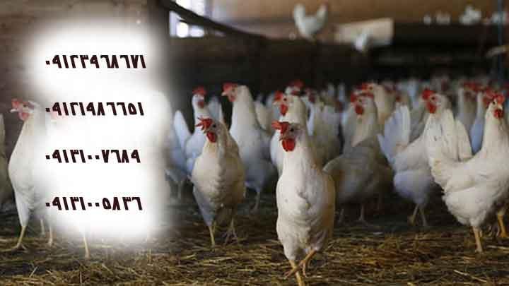 فروش جوجه مرغ تخمگذار 5ماهه - شیور پربازده ترین نژاد مرغ تخمگذار -