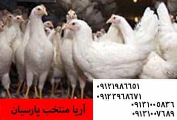 قیاس مصرف گوشت مرغ در ایران و جهان - ?وظیفه اسیدهای آمینه در تغذیه طیور - عوارض معدی روده ای - آشنایی با خصوصیات ظاهری مرغ تخمگذار - poults buy offer - ضعف پا در طیور - دمای متناسب با انواع سن طیور - اجداد اولیه مرغ چیست/اصلاح نژاد چگونه انجام میشود09131007689 - بیماری تاول سینه در طیور - کاهش قیمت مرغ - کاهش قیمت مرغ - قیمت جدید مرغ - دلایل افزایش قیمت مرغ ؟ - نرخ امروز ۸۳۰۰ تومان - ⚫️فروش مرغ پولت ال اس ال و هایلاین 1 روزه و 90 روزه09131007689 - مزایای دان آماده بصورت پلت -
