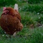 دلایل پرورش مرغ بومی - فروش مرغ بومی محلی 3ماهه به وزن 700گرم09121986651