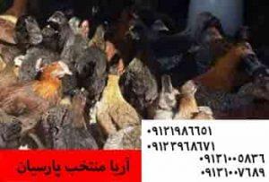 ⚫️فروش مرغ بومی گلپایگانی 35 روزه و2ماهه و3ماهه و5ماهه09131007689