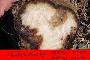 بذر چغندر قند Dorotyea محصولی از شرکت Syngenta - پوسیدگی ریشه ریزوکتونیایی چغندر قند -