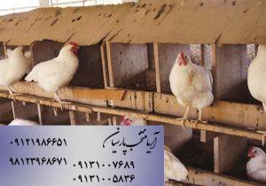 پرورش مرغ بومی - چشم انداز روشن - فروش جوجه مرغ بومی - خرید جوجه مرغ بومی - فروش مرغ - خرید مرغ - قیمت مرغ - قیمت جوجه مرغ بومی