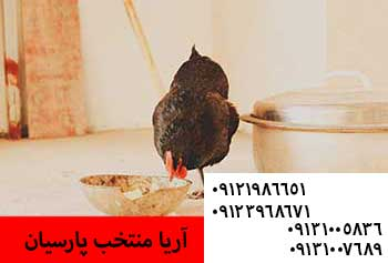 پرورش جوجه مرندی - مشکل غذا نخوردن جوجه - تاثیر نعناع در راندمان و کاهش علائم تنفسی طیور - فروش جوجه 1روزه اصل بلک استار وپلیموت - فروش مرغ خالص بلک استار اصل تضمینی - تغذیه ی مناسب مرغ ها در تمام فصول - عملکرد و فواید برنامه نوری برای مرغان تخمگذار وتنظیم نور برای سالن های بازونیمه باز و بسته09131007689 - خريد جوجه بوقلمون , فروش جوجه بوقلمون , خريد جوجه شترمرغ , فروش جوجه شترمرغ , خريد جوجه گوشتي , فروش جوجه گوشتي , خريد مرغ بومي , فروش مرغ بومي